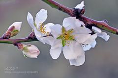 Early Spring... (marisa sarto) Tags: macro primavera nature del de nikon san flor pedro arenas gredos pasion almendro d90 500px ifttt