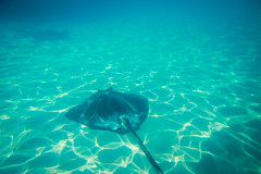 Stingrays, Cayman Islands (ncs1984) Tags: ocean travel blue sea color colour canon island islands ray underwater stingray turquoise grand caribbean cayman rays caymanislands stingrays grandcayman 6d caribbeansea stingraycity canonef1635mmf28 canonef1635f28 canon6d
