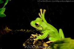 Witlipboomkikker - Litoria infrafrenata - White-lipped tree frog (MrTDiddy) Tags: white tree zoo amphibian boom frog lip antwerp wit antwerpen zooantwerpen kikker boomkikker litoria lipped amfibie infrafrenata whitelipped witlipboomkikkerwitlip