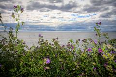 Horizon (Seb & Jen) Tags: canada flower fleur quebec gaspesie baiedeschaleurs newrichmond