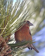 Red Crossbill in Our Yard (GaryKurtz) Tags: backyardbirds beautifulbird unusualbird garykurtzbirdphotos redcrossbillwildbirds