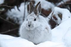 Killer Bunny (coleenr2005) Tags: winter rabbit bunny whitecoat mottled molting