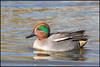 Teal (Male) (John R Chandler) Tags: uk male bird duck unitedkingdom teal coventry westmidlands warwickshire wildfowl anascrecca eurasianteal brandonmarsh warwickshirewildlifetrust