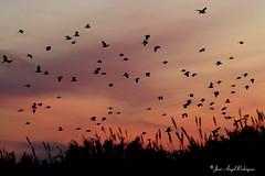 GARCILLAS BUEYERAS EN LA PUESTA DE SOL. (Jose Angel Rodriguez) Tags: sunset contraluz granada ocaso bubulcusibis garcilla bandada garcillabueyera dormidero joseangelrodriguez