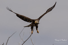 Juvenile Bald Eagle struggles to land - 14 of 27