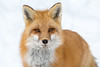 Red fox (Phiddy1) Tags: wild snow ontario canada wildlife north fox algonquin redfox