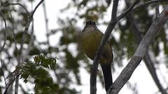 Zapata  Sparrow. Torreornis inexpectata (gailhampshire) Tags: sparrow zapata inexpectata taxonomy:binomial=torreornisinexpectata torreornis