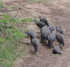 Helmeted guineafowl (Ujuzi African Travel) Tags: birds animals wildlife birding safari hippopotamus botswana chobe guineafowl helmetedguineafowl choberiver chobenationalpark