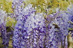 Caduca gloria, inutilis vanitate                                       [EXPLORED - 04/04/2016] (MiquelGP54) Tags: flores girona naturephotography altempord monells fotografadeflores fotografadenaturaleza