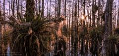 Cypress Swamp Sunset (Don Filipiak) Tags: sunset flower color nature wet water nikon warm florida magenta wideangle naturalhistory seeds swamp everglades evergladesnationalpark bromeliad fullframe airplant biology epiphyte backlighting dispersal naturephotography cardinalairplant cypressdome nikonwideangle nikon1635mmf4 rainforestdon tillandsiafasiculata nikond750