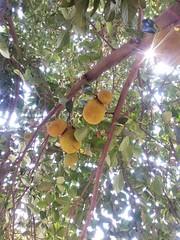 - Jack Fruit (somnathwanjule) Tags: india fruits maharashtra pune jackfruit fruitsofindia