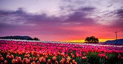 Tulip Sunrise - 2 (Sworldguy) Tags: plant sunrise skyscape spring nikon bright britishcolumbia wideangle flowerbed tulip april fields serene colourful brilliant abbotsford tulipfarm d7000