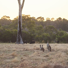 Kangaroos on alert (alǝxH3o) Tags: field kangaroo animal australia westernaustralia metricup downsouth dsc06578co dsc06309cowm sonya7 sonya7m2 sonya7ii ilce7m2 minoltaaf70210mmf4 beercan