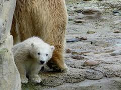 Polar Bear Cub Lili (BrigitteE1) Tags: bear baby rain animal germany de geotagged mammal zoo cub europe polarbear lili bremerhaven regen br eisbr specanimal polarbearcub eisbrbaby polarbearcublili