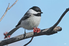 Msange  tte noire / Black-capped Chickadee (alain.maire) Tags: canada bird nature quebec blackcappedchickadee poecileatricapillus paridae msangettenoire