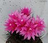 Neoporteria Senilis Schwarz 2 (Nyxtofulakas) Tags: cactus nature succulent cactaceae spines schwarz multicolor nidus robusta eriosyce senilis neoporteria