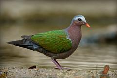 20160407-GUY_4316-DOVE-Emerald-male (guy.miller) Tags: hk guy birds island dove hong kong miller lamma emeral