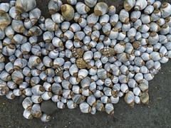 Anglų lietuvių žodynas. Žodis sea snail reiškia jūros sraigė lietuviškai.