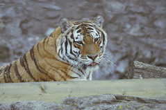 Shere Khan (kateshamova) Tags: animals zoo moscow tiger