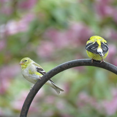 who's ignoring whom? (mimbrava) Tags: male female pair mimbrava arr allrightsreserved americangoldfinch mimbravastudio mimeisenberg