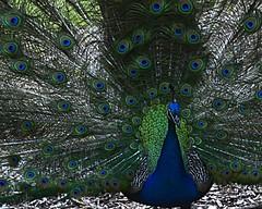 PeaCock2 (James_Dannelly) Tags: nikon peacock henrydoorlyzoo d600
