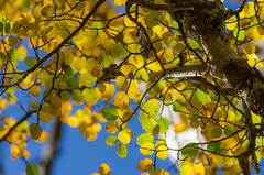 Fagus (glendamaree) Tags: trees nature tasmania fagus deciduousbeech nikond7000