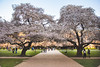 IMG_9495 (elenafrancesz) Tags: uw cherry blossoms wordless