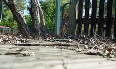 (kaylanapier) Tags: wood tree field sticks blurry depthoffield twigs focused depth kindling fous