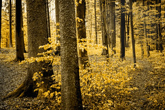 patwood (pat.netwalk) Tags: trees nature yellow forest woods shine bight darknessandlight copyrightpatrickfrank