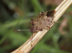 Bronze Shieldbug - Troilus luridus (Prank F) Tags: macro nature closeup bronze bug insect wildlife sandy shieldbug thelodge rspb troilusluridus bedfordshireuk