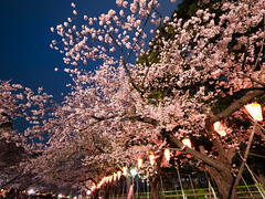 Sakura, wide open (H.H. Mahal Alysheba) Tags: park flower tree japan night cherry lumix tokyo ueno wide cherryblossom sakura lumixg 714mmf40 gx7