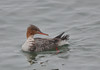 RBME 4-2-16 (Carol Riddell) Tags: bird duck merganser redbreastedmerganser olympicbeach washingtonbirds birdsofedmonds
