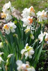 My Story double daffodils (Niki Gunn) Tags: flowers flower macro pentax daffodil april tamron 90mm daffodils k5 tamron90mm 2016 tamron90mmf28 tamron90mmmacro tamronspaf90mmf28