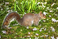 Eichhörnchen - Squirrel (vampire-carmen) Tags: uk greatbritain portrait england green london closeup photoshop petals spring squirrel unitedkingdom meadow wiese orava grün ekorre esquilo hdr kensingtongarden ardilla frühling eichhörnchen blüten scoiattolo écureuil ekorn veverka grossbritannien eekhoorn tupai 松鼠 egern リス orav sincap белка iora سنجاب mókus wiwer vereinigteskönigreich 다람쥐 sciuro ખિસકોલી गिलहरी vāvere voverė feòrag กระรอก סנאים білка bajing σκίουροσ ఉడుత веверица அணில் canoneos600d veveriță consóc íkorna কাঠবিড়াল ekirèy ಅಳಿಲು گلہری וועווערקע тиін tusnasncuav тыйынчычкан ရှသ့် sikiurele хэрэм लोखर्के kurege