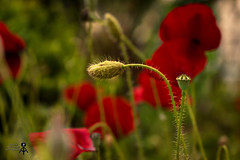 ... (theseustroizinian) Tags: flower nature canon colours hellas greece poppy hdr canoneos700d