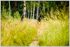Op de Kempen, Noord-Brabant (hypnotixed.com) Tags: bomen pad nederland natuur zomer gras bos landschap noordbrabant kempen bossen staatsbosbeheer bospad berken