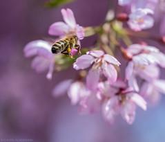 Pink with Stripes (katrin glaesmann) Tags: spring hannover bee botanicalgarden herrenhäusergärten berggarten winterfloweringcherry prunuspendula prunussubhirtella higancherry springcherry gardensofherrenhausen rosebudcherry higankirsche