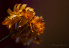 Under the Light (Shirley Howarth) Tags: bokeh strawflower shallowdof