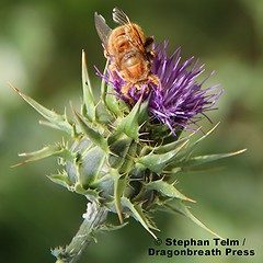 IMG_5107_Teddy bear bee on thistle (sdttds) Tags: male insect wildlife thistle solitary pictureoftheday bikecommute purplegreen pollinator beneficial nativebee teddybearbee valleycarpenterbee xylocopavaripuncta 117of366 366in2016 april262016