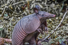 Neo-Prehistoric (Maggggie) Tags: animal backyard gray nik creature prehistoric armadillo