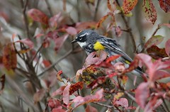 Yellow-rumped warbler (Mary Sonis) Tags: