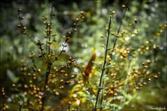 Comme des confettis (Laurent Asselin) Tags: plante lumire graines