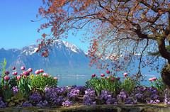 Genfersee, Montreux (welenna) Tags: morning flowers blue schnee sky mountain lake snow mountains alps switzerland see spring view blumen berge alpen morgen baum lakegeneva montreux genevelake laclman genfersee fruhling schwitzerland