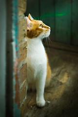 rustic cat (lera_abrakadabra) Tags: cats pets yellow rustic emerald cutecats catface gingercat shabby animalphotography catlovers petslovers