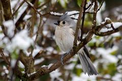 A Winters Spring (rlgidbiz1) Tags: snow spring tuftedtitmouse backyardfeeder