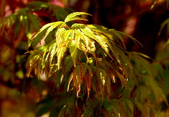 Bursting forth.. (Jane.Des) Tags: new leaves japanese maple growth acer