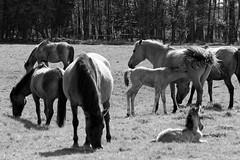 Wild Horses in black-and-white - Foal - 2016-002_Web (berni.radke) Tags: horse pony herd nordrheinwestfalen colt wildhorses foal fohlen croy herde dlmen feralhorses wildpferdebahn merfelderbruch merfeld przewalskipferd wildpferde dlmenerwildpferd equusferus dlmenerpferd dlmenpony herzogvoncroy wildhorsetrack