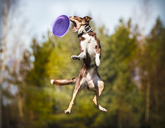 Lexie and the purple frisbee! (Marie Balstad) Tags: dog colors canon outside outdoors happy crazy jumping collie energy purple bokeh ngc border 7d frisbee hyper
