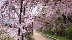 Nakaragi Path (maco-nonchR(on/off)) Tags: kyoto path traditional blossoms   kioto japon japons   nakaragi
