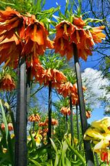 Phot.Lisse.Keukenhof.01.041623.7862.jpg (frankartculinary) Tags: flowers flores holland netherlands fleur dutch cheese rotterdam nikon scheveningen nederland blumen denhaag parade desfile queso coolpix f2 f3 d200 alkmaar paysbas fromage kse f4 niederlande keukenhof tulpen d800 formaggio tulipes d300 lisse tulipanes parata tulipani pasesbajos paesibassi frankartculinaryyahoode